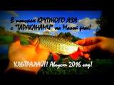 В поисках КРУПНОГО ЯЗЯ с ТАРАКАНАМИ на Малой реке! Ультралайт! Август 2016!