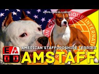 AMERICAN STAFFORDSHIRE TERRIER ( AMSTAFF ) - Historia, aspecto general, cuidados y salud