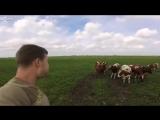 Призыватель_коров