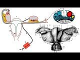 Женская половая система — видеолекция (Анатомия)