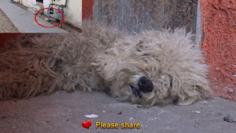 After living on the streets this poodle was transformed by the love of a little boy