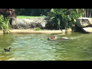 дикая птица подразнила тигра в австралийском зоопарке