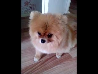 Самая виноватая собака в мире