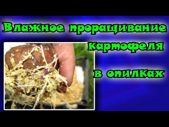 ЛУЧШИЙ МЕТОД Влажное проращивание картофеля в опилках Полный мастер класс