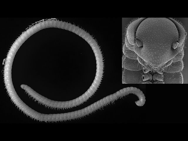 Illacme tobini - new millipede species