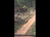 Кукабара убивает змею