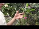 Как вырастить фейхоа дома Сайт Садовый мир