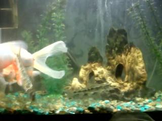 Золотые рыбки, пескари, плотва, окунь, ротан, скалярия, речные раки в аквариуме