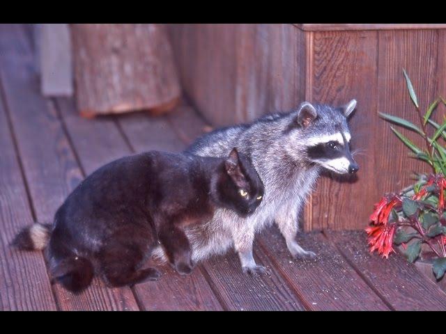 Еноты и кошки Raccoons and cats