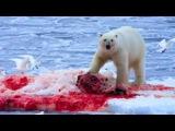 Polar Bear Vs Walrus, Seal - Wild Animal Attacks  Wild animals fight to death