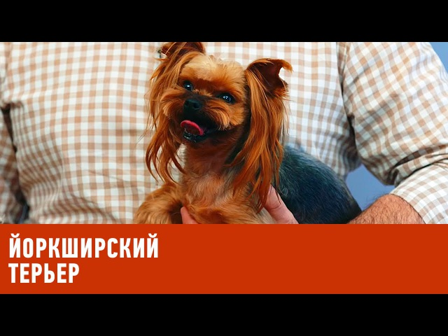 Йоркширский терьер Планета собак спешит на помощь 🌏 Моя Планета