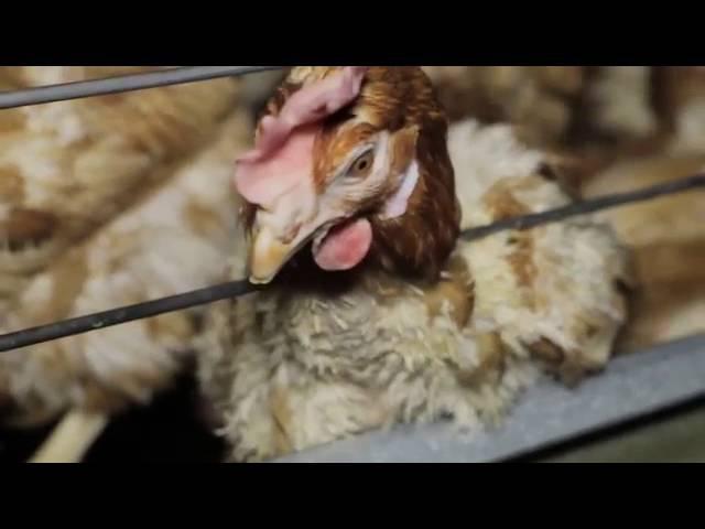Защитники животных засняли нелицеприятные сцены на птицефабриках Balticovo