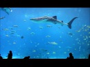 Georgia Aquarium Whale Sharks and Stunning Fish in 1080p HIGH DEF