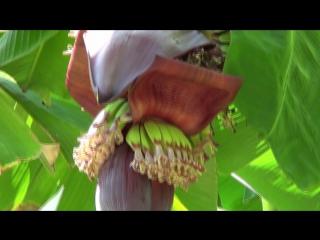 Как растут бананы, апельсины, мандарины, гранаты, лимоны, инжир