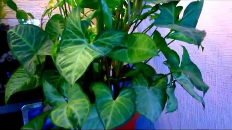 Растения для фитофильтра - 6 часть. Сингониум.