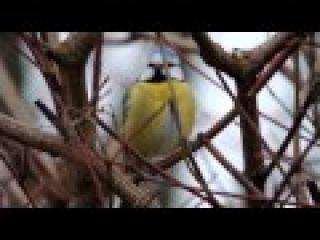 Пение птиц. Лазоревка (Cyanistes caeruleus).