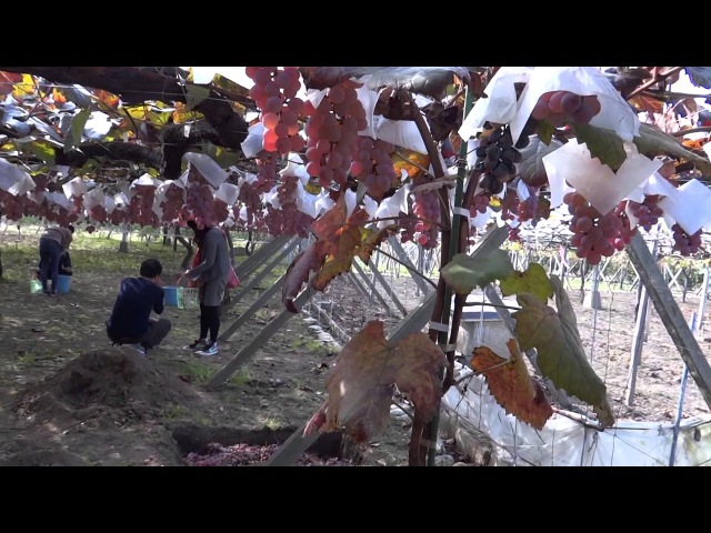 Япония. Виноградники города-сада Кацунума префектуры Яманаси/Budo,Katsunuma city,Yamanashi Pref.
