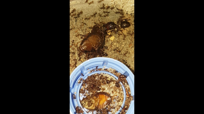 Pheidologeton diversus vs Nauphoeta cinerea