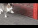 Кот бежит рысью