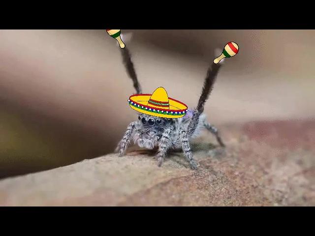 Spider Conga