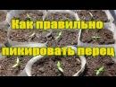 Выращивание рассады перца / часть 2 пикировка/ как правильно пикировать перец