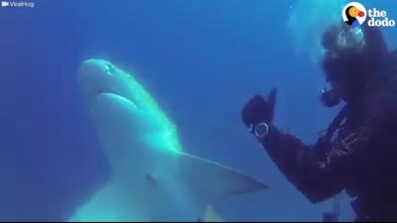 Спасите акулу.