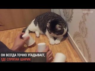 Кот, который всегда угадывает, где шарик