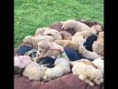 Просто очень много милых щенков