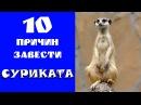 10 причин завести СУРИКАТА! Смешные сурикаты! Редкое домашнее животное!
