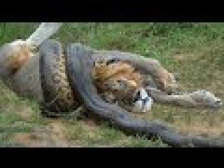 Giant Anaconda vs Lion vs Tiger vs Python vs Crocodile vs Leopard - Brutal Animal Attacks #1
