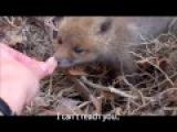 Feeding a Baby Fox