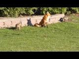 fox and babies 2