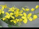 ABC TV How To Make Cassia Fistula Paper Flowers From Crepe Paper Craft Tutorial