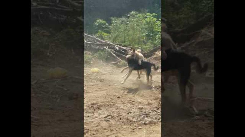 Dog fight in losar village rawalpindi