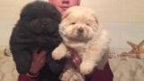 Чау Чау щенки, белая девочка и черный мальчик, 1.5 месяца