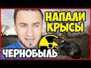 Напали крысы в Чернобыле