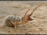 Удивительные пауки - сольпуга