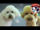 Стрижки собак в Азиатском стиле и в стиле Тедди Груминг от Эстер Каталан