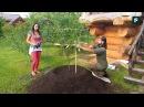 Посадка плодовых деревьев на клумбы FORUMHOUSE
