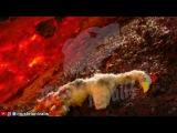 Ласка(Mustela nivalis) против РобоцыпаWeasel vs Robot Chicken