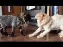 Неудачный эксперимент с бритьем кошки