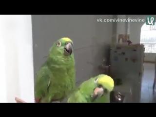 Пьяный дуэт попугаев