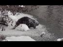 Зимняя видео-охота на бобра 6.01.2017
