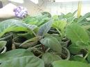 🌼Мои глоксинии. Моя квартира. 10000 глоксиний ЦВЕТОЧНОЕ БЕЗУМИЕ !🌼🌱How to grow gloxinia part №22