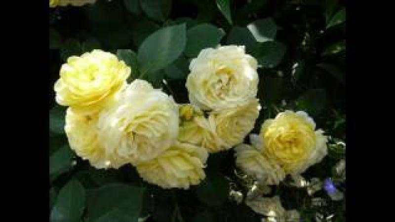 Чем обработать розы чтобы они обильно цвели не болели и не повреждались вредит