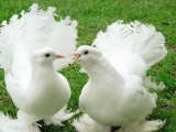 Эдуард Видный - Летите голуби