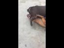 18+ питбуль против питбуля собачьи бои