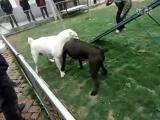 Собачьи бои 18+ Кане корсо vs Вокодав
