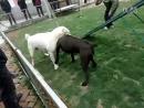 Собачьи бои 18 Кане корсо vs Вокодав