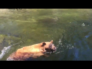 Bear Accidentally Gets Sucked Down Waterfall